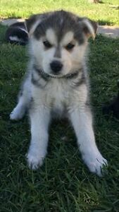 Husky/German Shepard Puppies For Sale