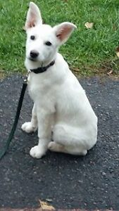 Paws for Love dog rescue has a 11 week labhusky mix for adoption