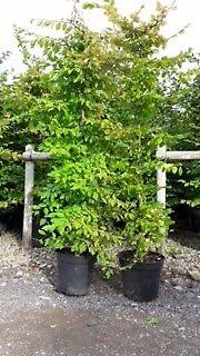 Carpinus Betula (Hornbeam)