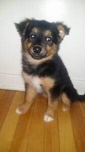 Paws for Love dog rescue has a 8 week shepherd mix for adoption