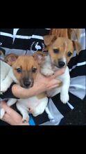 Two Male Mini Fox Terrier Pups For Sale Wagga Wagga Wagga Wagga City Preview