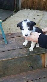 Dog collie