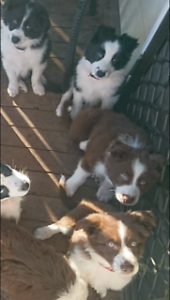 Chocolate & White + Black & White  Border Collies Morayfield Caboolture Area Preview