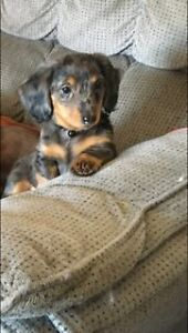 Dachshund Longhaired Puppies