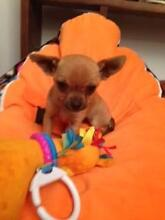 MINITURE CHIHUAHUA PUPPIES Adelaide CBD Adelaide City Preview