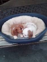 Cavalier king charls Koo Wee Rup Cardinia Area Preview