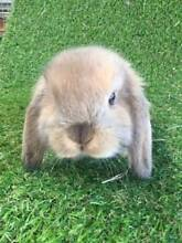 EXPRESSIONS OF INTEREST - PURE BRED MINI LOP Joondalup Joondalup Area Preview