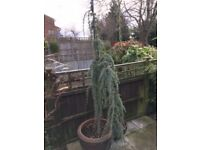 LARGE CEDRUS GLAUCA PENDULA TREE