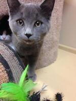 """Young Male Cat - Domestic Short Hair: """"Johnson"""""""