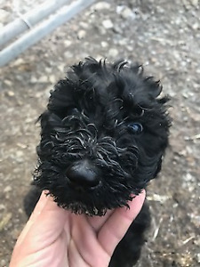 4  St. Poodle Puppies for Sale! (of 8)