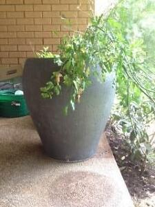 Moving plant sale. Plants from $5 to $50 Strathfield Strathfield Area Preview