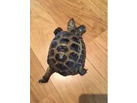 Male Horsfield Tortoise U/K age available for Rehoming in Musselburgh