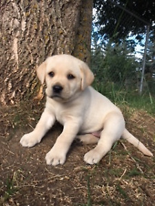 LABRADOR PUPPIES - YELLOW AND WHITE