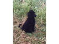 KC Registered Standard Poodle Puppies for sale