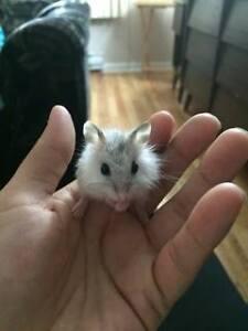 hamster  femelle   whiter blanc