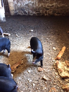 Berkshire Wiener Pigs for Sale