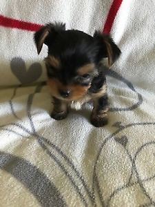 Yorkies Kijiji Buy Sell Save With Canadas 1 Local Classifieds