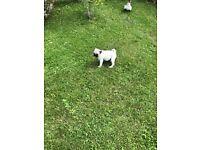 Fawn Pug Pups