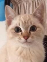 Burmadoll Kittens Pakenham Cardinia Area Preview
