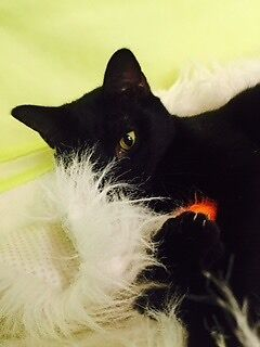 Gorgeous RSPCA cat available for adoption! Wacol Brisbane South West Preview