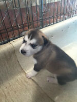 Belle -Husky Pup Pending Adoption