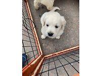 Brilliant White Pedigree Golden Retriever puppies