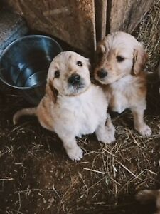 GOLDEN DOODLE PUPS boys and girls, ready to go!