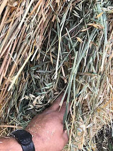 Hail Sale:  958 green feed bales for sale