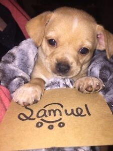 Chihuahua pups ready for new home March 23