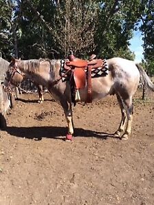 14 Year Old Gelding For Sale