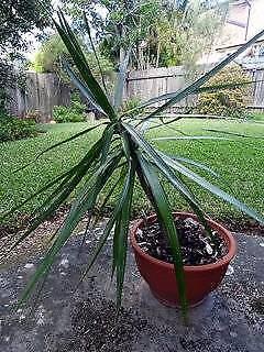 Cabbage Tree Cordyline Plants