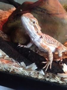 Two Bearded Dragons for Sale