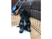 READY NOW - Stunning Tibetan Terrier Puppies