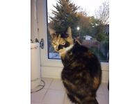 Missing Tortoiseshell cat in Hendon area.