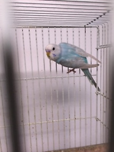 Pretty Budgies...only 2 left