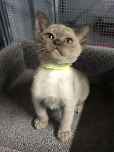 burmese kittens | Cats & Kittens | Gumtree Australia Free Local