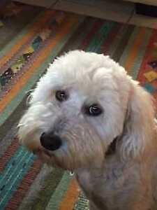 "Young Female Dog - Poodle: ""Nellie"""