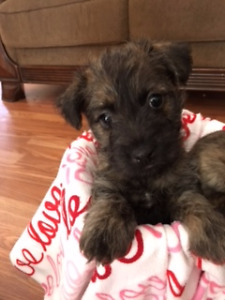 Cairn Terrier x Terri poo puppies  ( ALL SOLD)