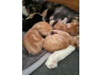 Kittens To Be Homed In 9 Weeks