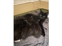 Cute Maine Coon X Kittens