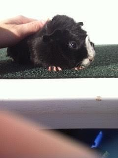 2 guinea pigs for sale including cage, food, accessories etc. Narrabeen Manly Area Preview
