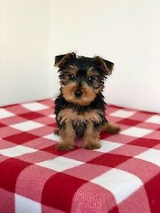 Hypoallergenic Puppy For Sale | Adopt Dogs & Puppies Locally
