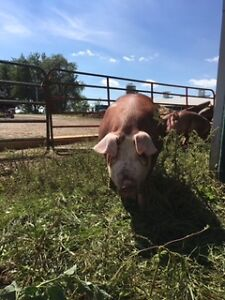 Hereford Hogs For Sale