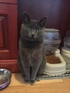 Russian Blue for Adoption- Vaccinated, Neutered, Microchipped
