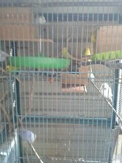 Budgies and cage  Bidwill Blacktown Area Preview