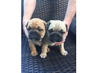 Adorable Bulldog puppies for sale, 2 boys 1 fawn 1 red, ready in 2 weeks