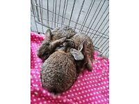 German lop rabbits