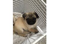 Beautiful Fawn 100% 11 week old Pug puppies for sale. £660 each