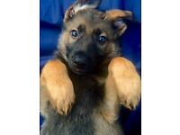 Pedigree German Shepherd Puppies