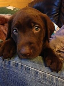 Registered  Chocolate Lab Puppies